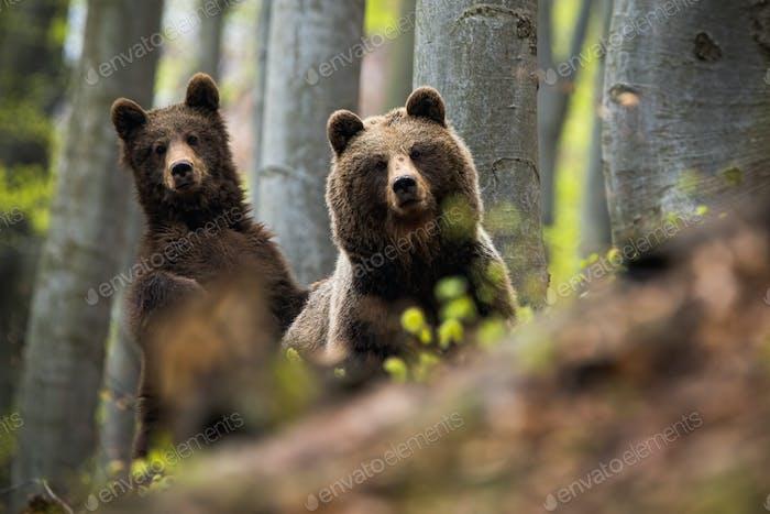 Женщина бурого медведя вместе с ее детеныш в лесу