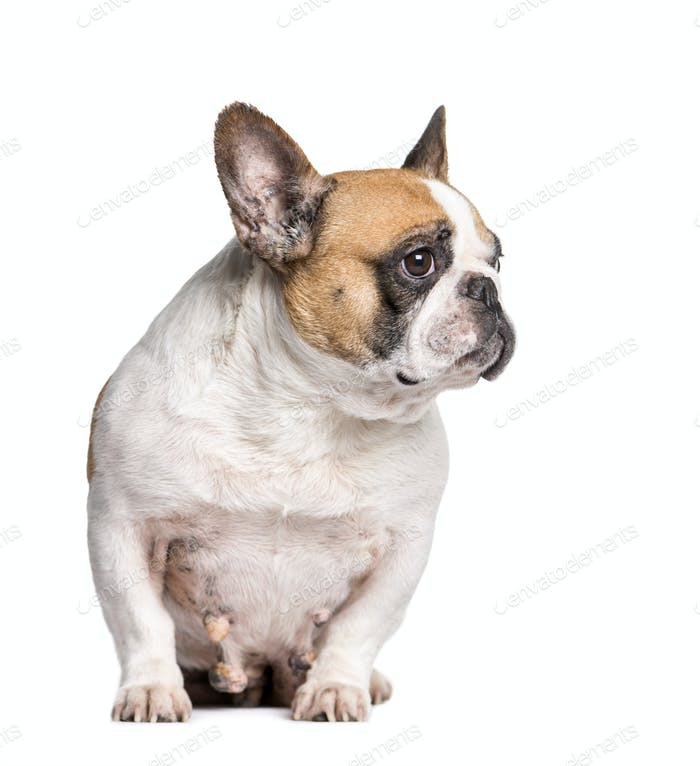 French Bulldog with breast cancer sitting in front of white background