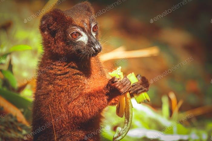 Lemur eating banana
