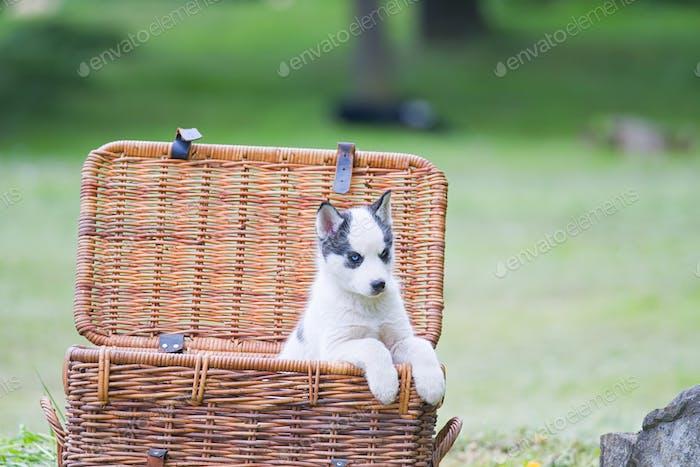 husky puppy in basket