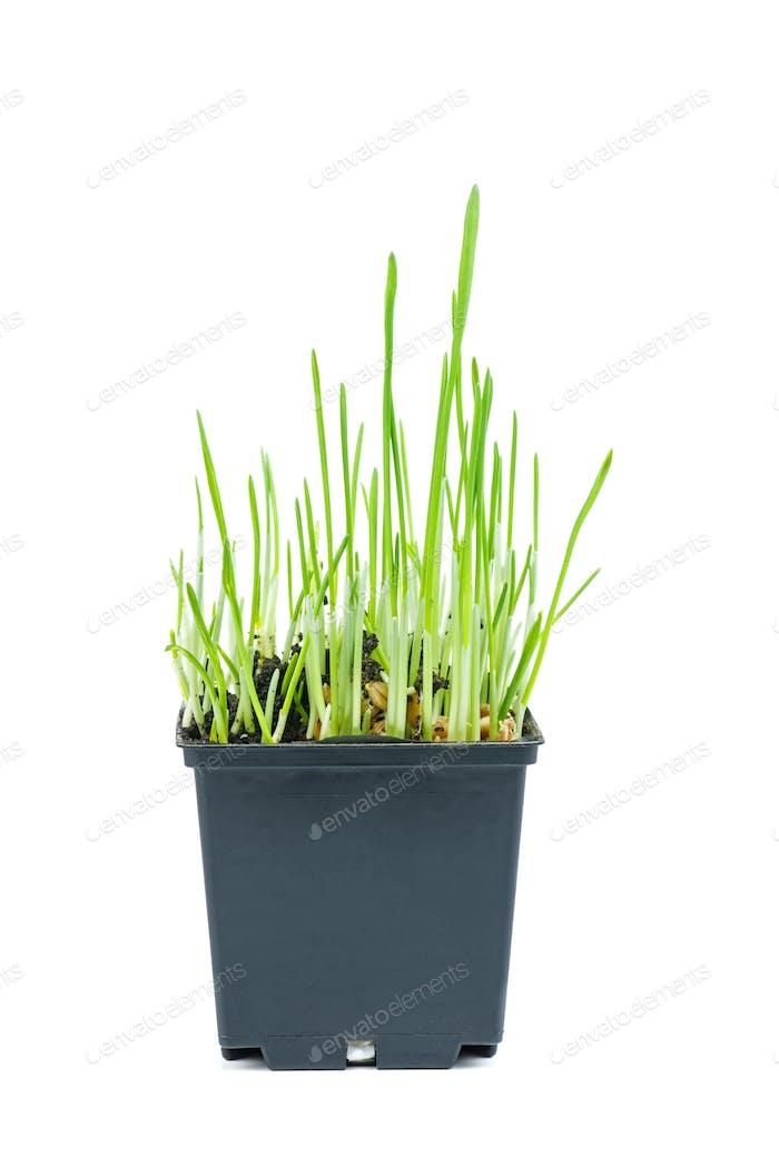 Gekeimte Weizenkörner in schwarzem Kunststofftopf isoliert auf weißem Hintergrund