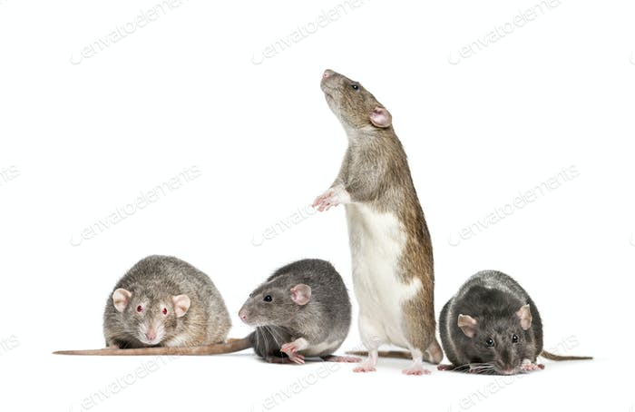 Four Rats in a raw, in front of a white background