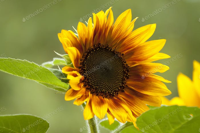 Bright yellow sunflower on a green background