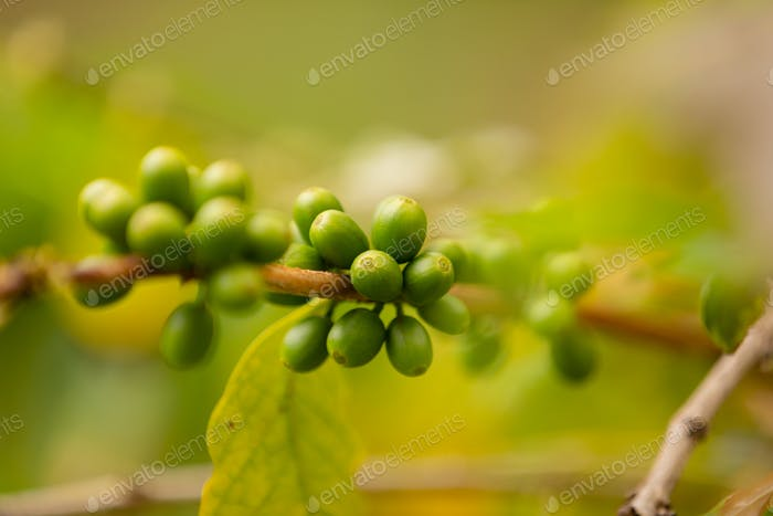Close-Up Of Fresh Coffee Fruits Growing In Plantation