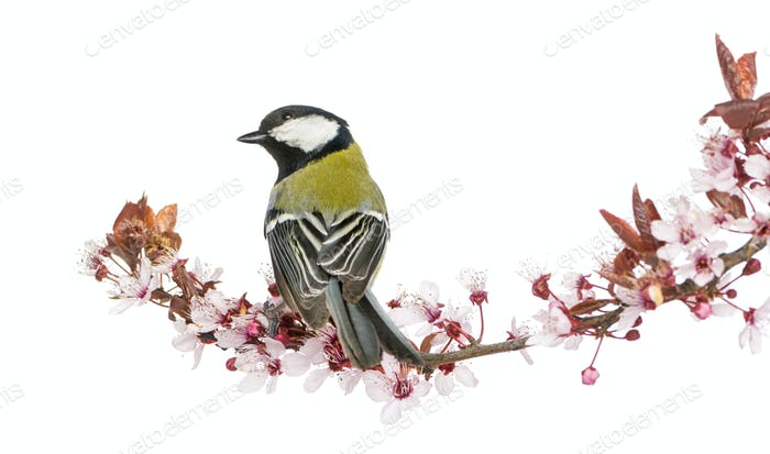 Rear view of a Male great tit perched on a flowering branch, Parus major, isolated on white