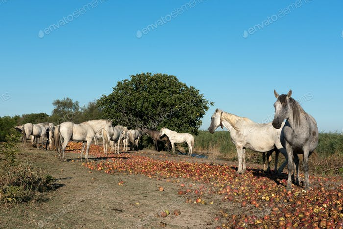 Group of wild Camargue horses against blue sky