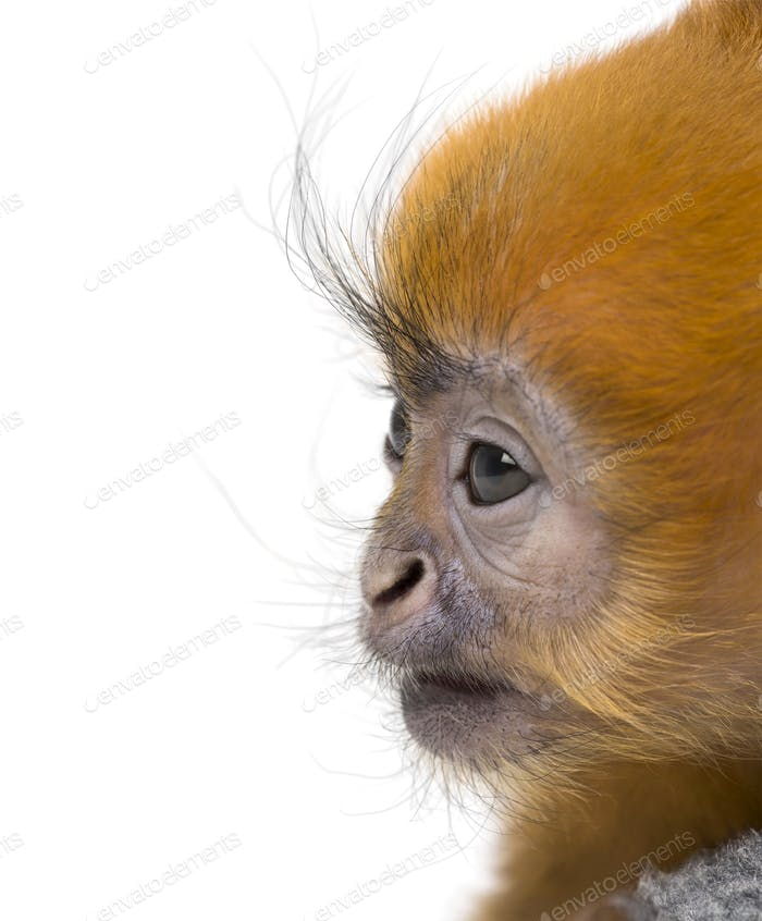 Close-up of a baby Francois Langur (1 month)