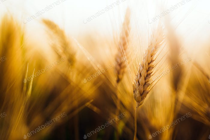 Close-up picture of golden wheat in countryside