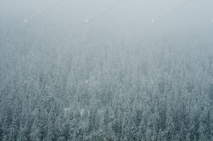 Coniferous forest in winter