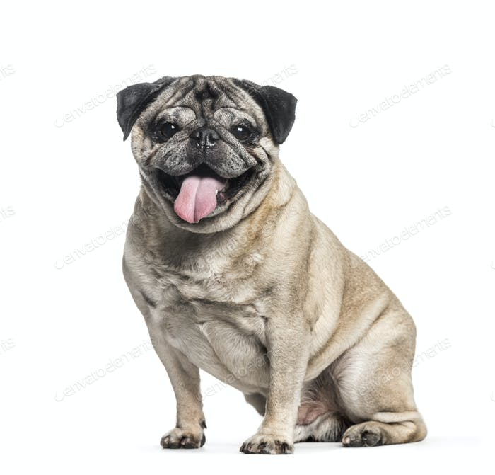 Pug, 7 years old, sitting in front of white background