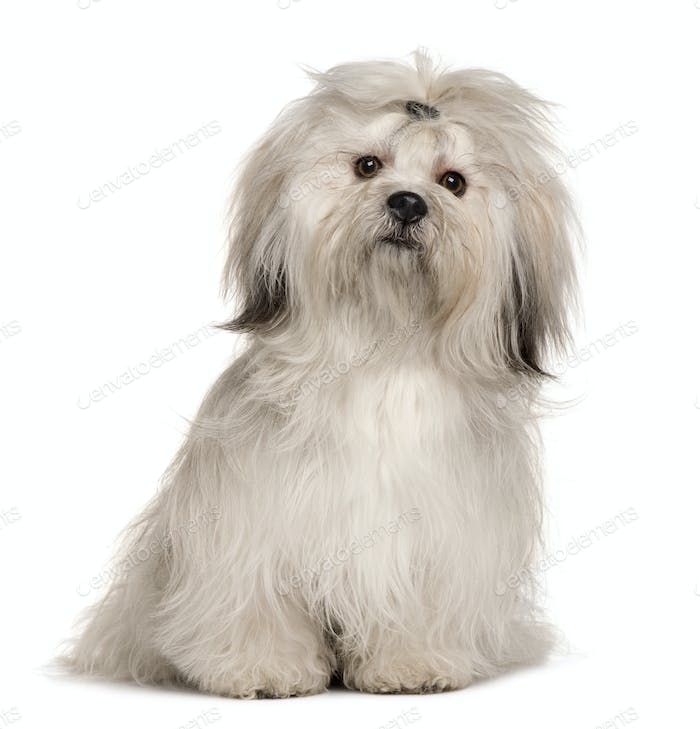 Lhasa Apso, 1 year old, sitting in front of white background