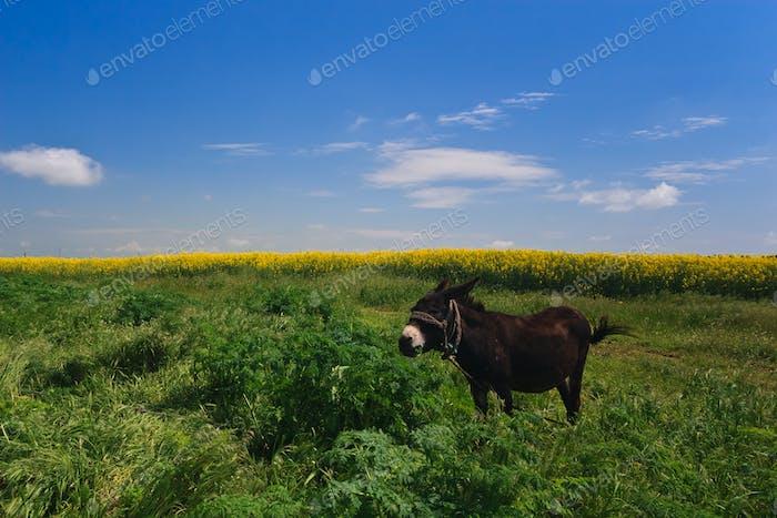 the donkey grazing