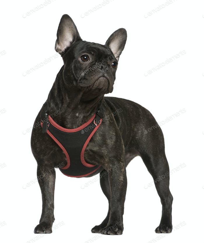 French bulldog, 9 months old, standing in front of white background
