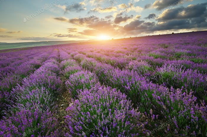 Lavender beautiful meadow.