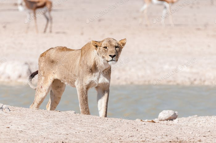 African Lioness with scars and visible wounds at a waterhole