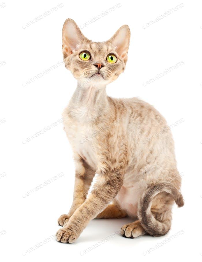 Katze Devon Rex