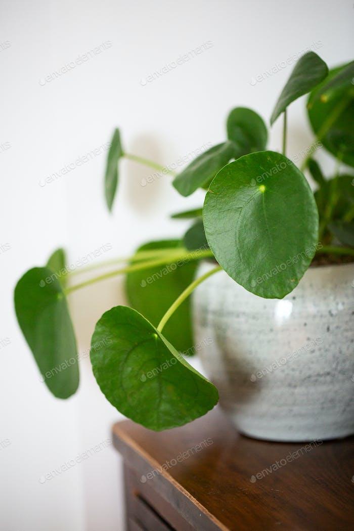 Nahaufnahme der chinesischen Geld-Pflanze im weißen Keramik-Pflanztopf.