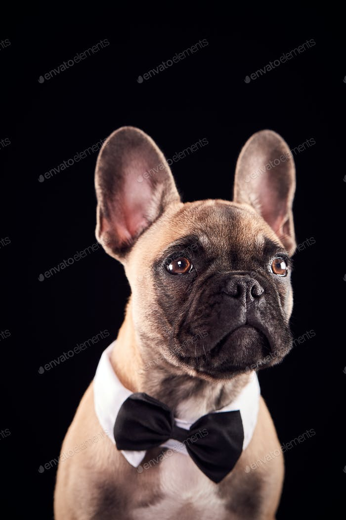 Studio Porträt von Französisch Bulldogge Welpen tragen Fliege und Halsband vor schwarzem Hintergrund