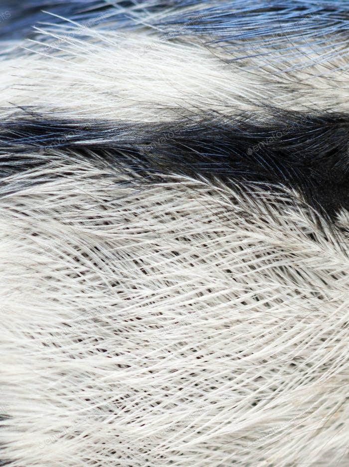 Macro of a Blue Tit feathers, Cyanistes caeruleus