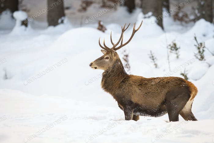 Massive male of red deer with fluffy winter fur standing in the snow