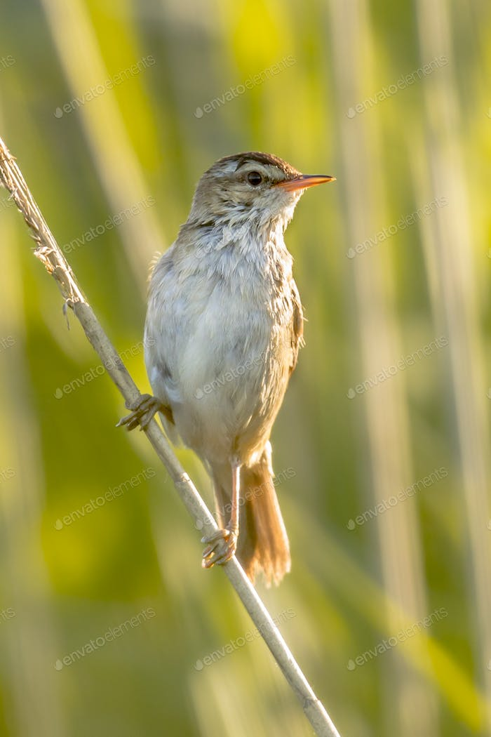 Sedge warbler in reed environment