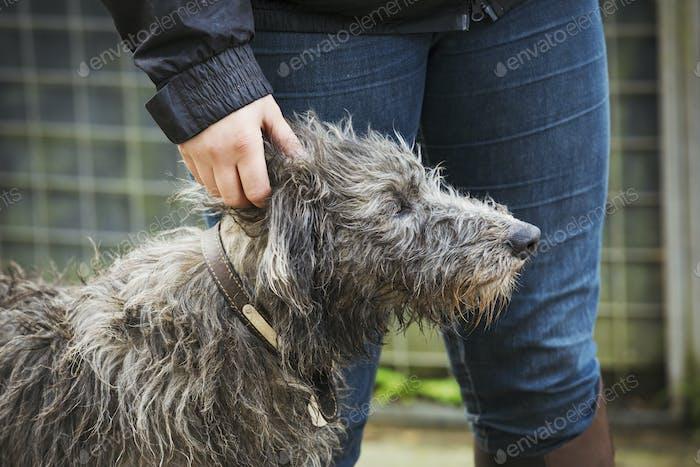 Scottish Deerhound standing next to a rider.