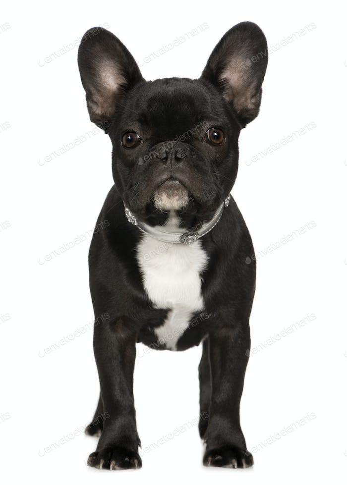 French Bulldog (6 months)
