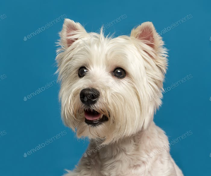 Close-up of a Maltese in front of a blue background
