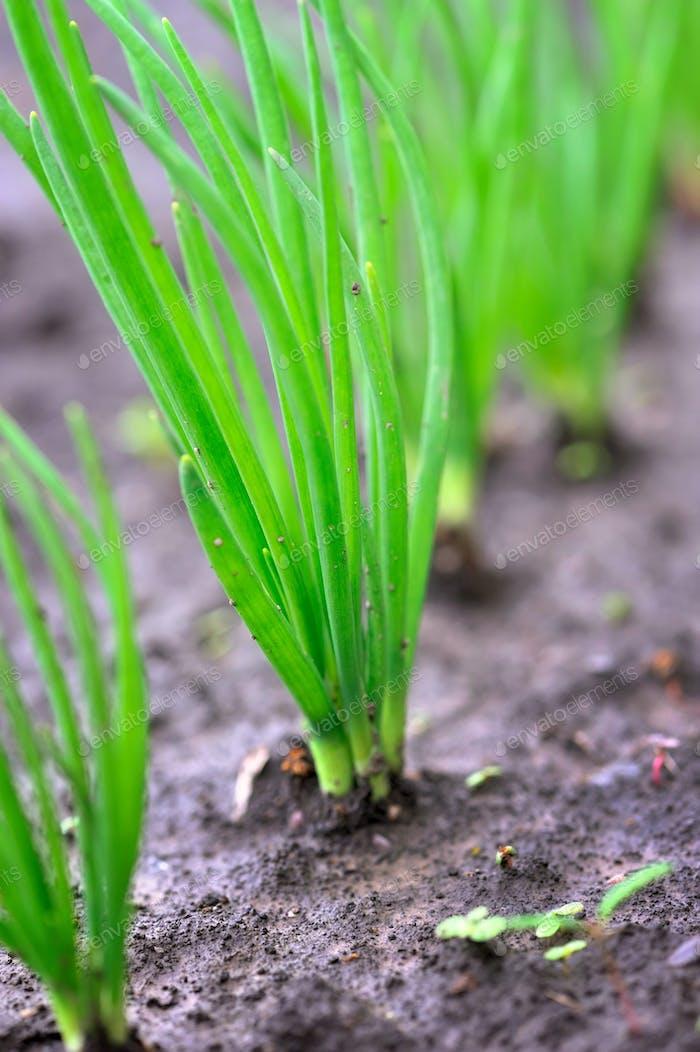 Nahaufnahme der Zwiebelplantage. Selektiver Fokus