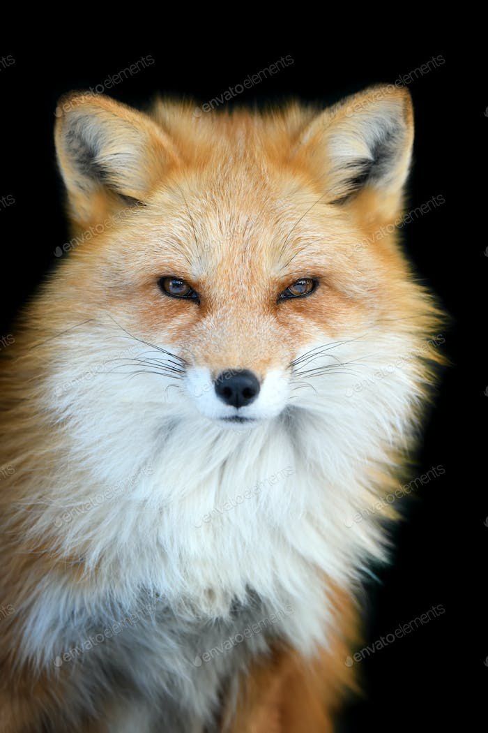 Close up view red fox. Wild animal isolated on a black background