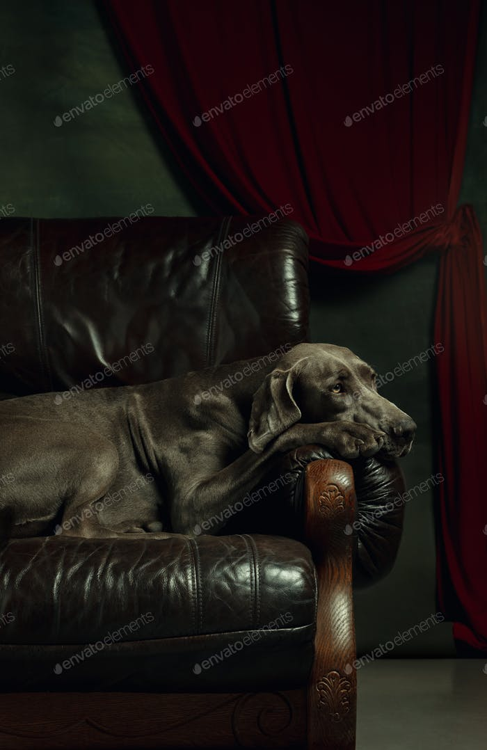 Studio shot of weimaraner dog like a medieval aristocrat