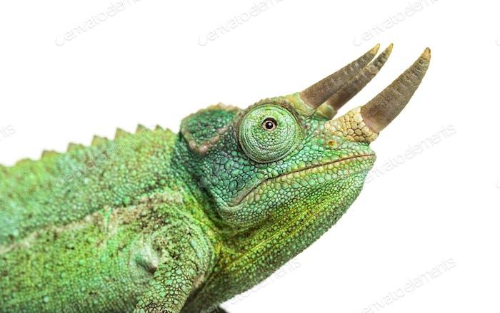 Side view of a Jackson's horned chameleon walking, Trioceros jacksonii