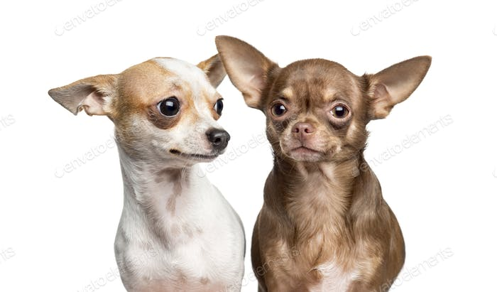 Close-up of two Chihuahua, isolated on white
