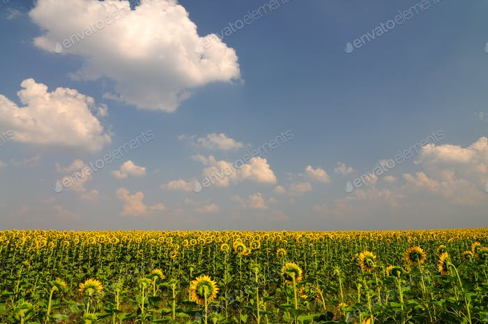 Summer yellow sunflowers in field with blue sky with clouds above
