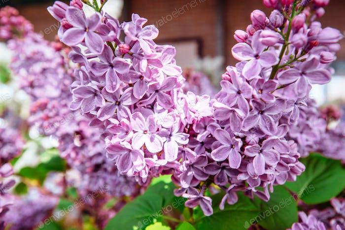 Lilac. Purple . Bouquet of  lilacs. Beautiful flowers