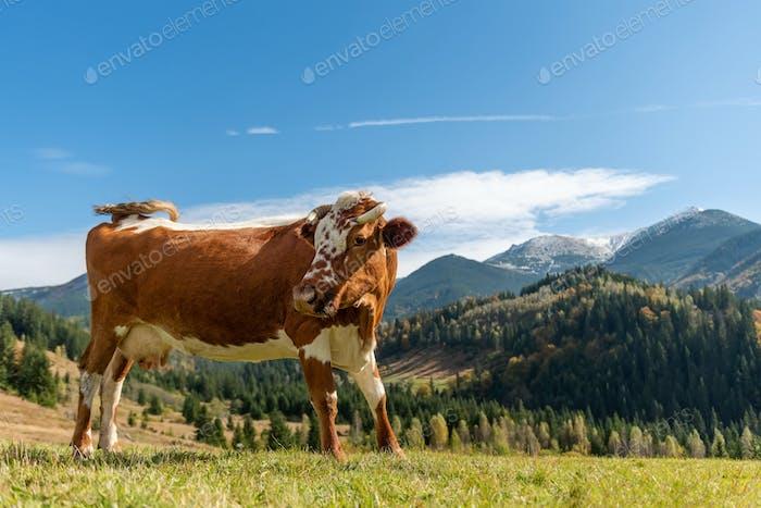 Braune Kuh auf Weide in Bergen
