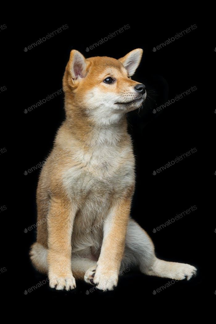 Beautiful shiba inu puppy