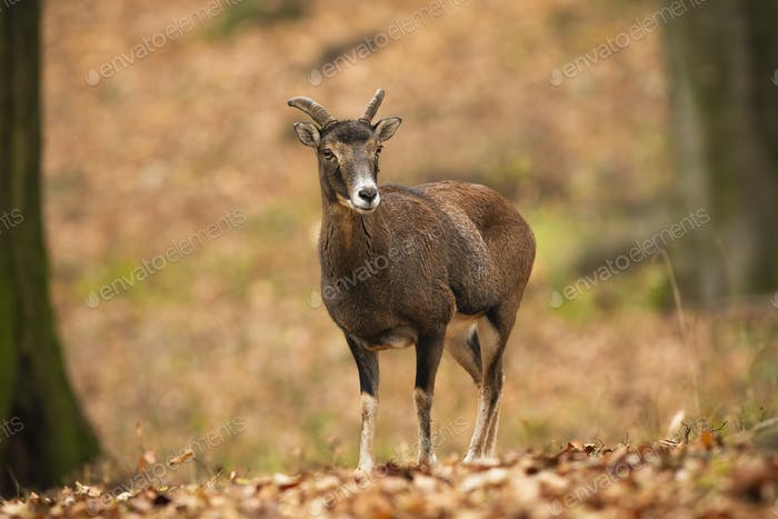 Old mouflon ewe standing on orange foliage inside forest in autumn nature