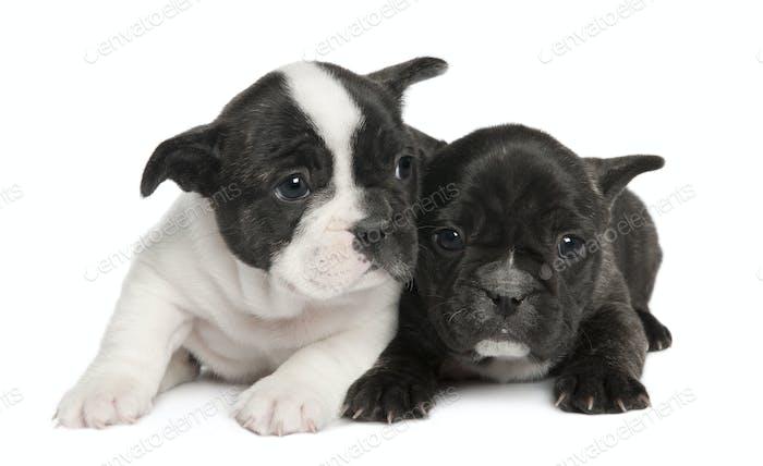 French Bulldog Welpen (8 Wochen)