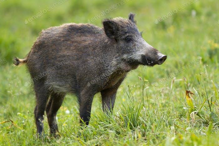 Wild boar standing on field in summertime nature
