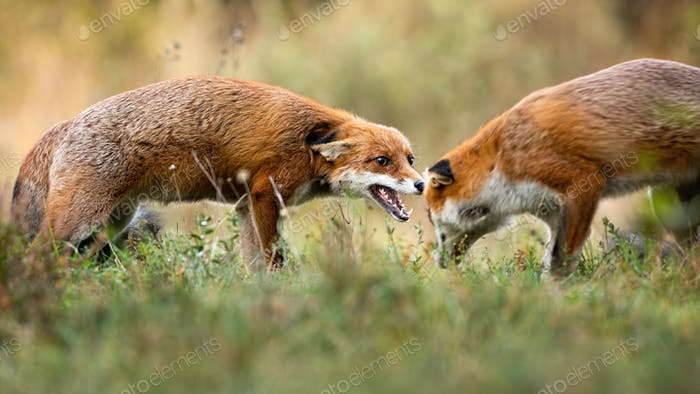 Two red fox fighting on green field in autumn nature