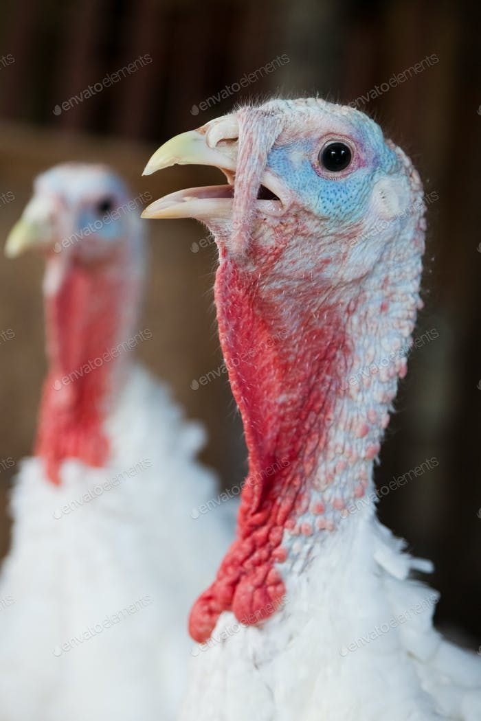 Close-up of a turkey