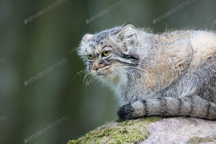 Pallas cat rests