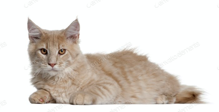 Maine coon kitten, 4 months old, lying in front of white background