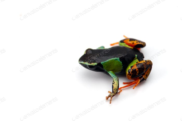 Mantella madagascariensis isolated on white background