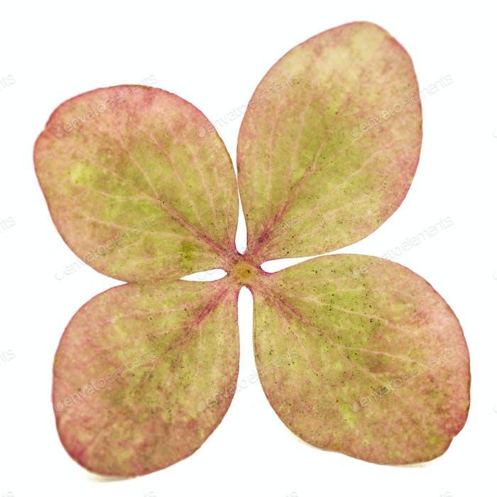 Blume der Hortensie Nahaufnahme, isoliert auf weißem Hintergrund