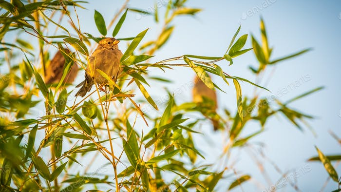 Sparrows birds on a bamboo tree in sun