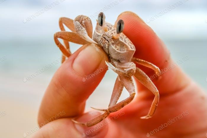 Winzige Krabbe in der menschlichen Hand