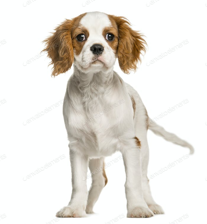 Cavalier King Charles Spaniel puppy standing, isolated on white