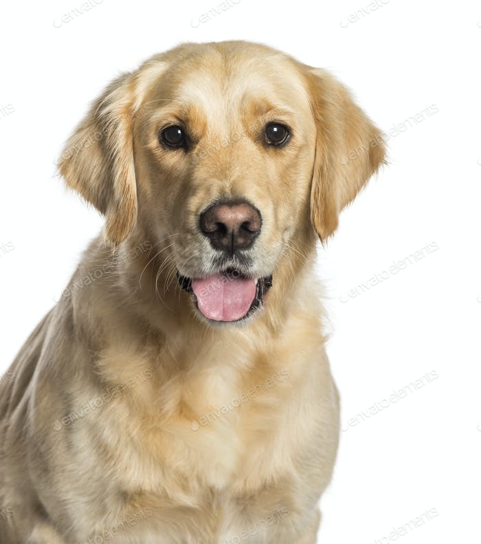 Golden Retriever in front of white background